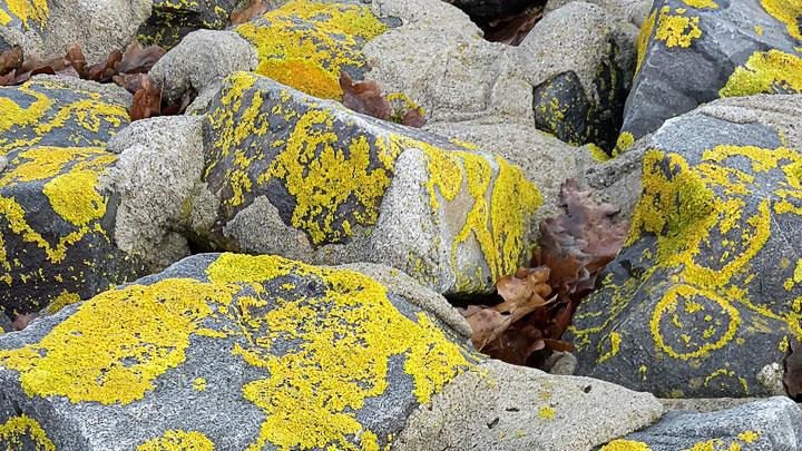 Mit gelb-grünen Flechten bewachsene Strandbefestigung.