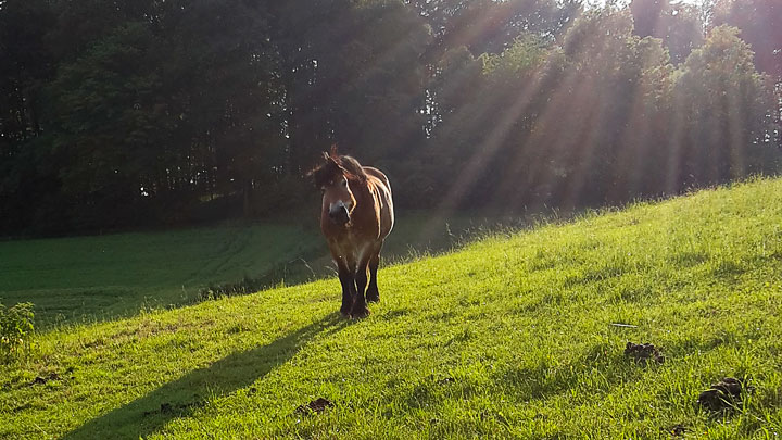 Kaltblut in der untergehenden Sonne.